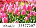 チューリップ チューリップ畑 花畑の写真 28577207