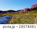 みなみの桜 河津桜 桜の写真 28578461