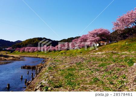 みなみの桜と菜の花まつり 28578461
