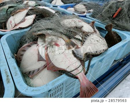 漁業 大漁 刺し網 カレイ 28579563