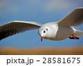 百合鷗 ユリカモメ 鳥の写真 28581675