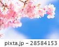 満開の河津桜【静岡県・河津町にて撮影】 28584153