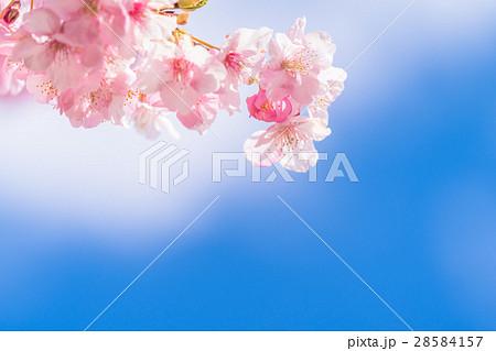満開の河津桜【静岡県・河津町にて撮影】 28584157