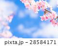 満開の河津桜【静岡県・河津町にて撮影】 28584171