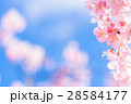 桜 河津桜 満開の写真 28584177