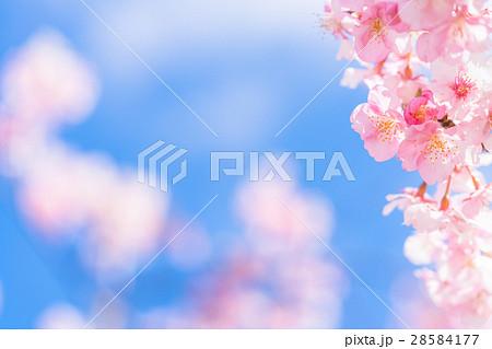 満開の河津桜【静岡県・河津町にて撮影】 28584177