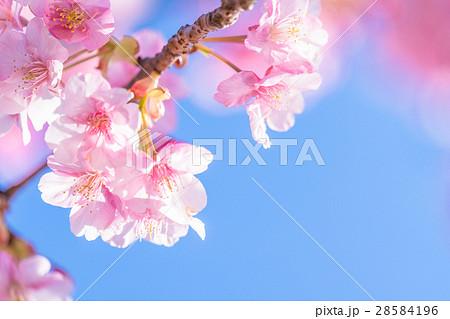 満開の河津桜【静岡県・河津町にて撮影】 28584196