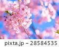 桜 河津桜 満開の写真 28584535