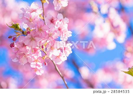 満開の河津桜【静岡県・河津町にて撮影】 28584535
