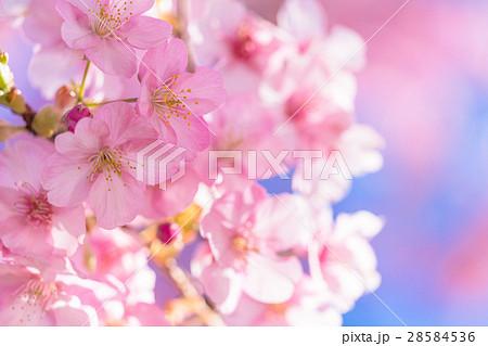 満開の河津桜【静岡県・河津町にて撮影】 28584536