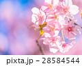 桜 河津桜 満開の写真 28584544