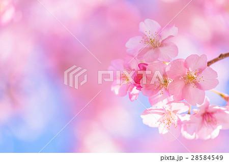 満開の河津桜【静岡県・河津町にて撮影】 28584549