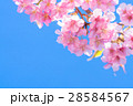 桜 河津桜 満開の写真 28584567