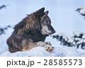 シンリンオオカミ 狼 イヌ科の写真 28585573