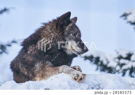 雪の上のシンリンオオカミ 28585573