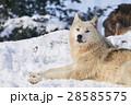 シンリンオオカミ 狼 イヌ科の写真 28585575