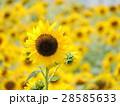 向日葵 黄色 花の写真 28585633