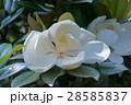 タイサンボク 花 白色の写真 28585837