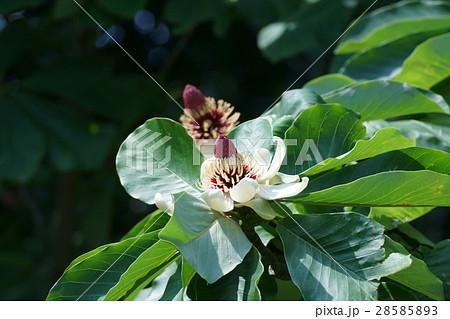 朴の木 ホウノキ 花言葉は「誠意ある友情」  28585893