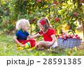 りんご リンゴ 林檎の写真 28591385