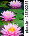 Pink lotus 28592285