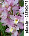 シンビジューム 花 蘭の写真 28593075