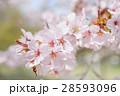 桜(アップ+ハイキー) 28593096