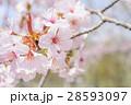 桜(アップ+ハイキー) 28593097