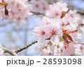 桜(アップ+ハイキー) 28593098