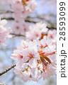 桜(アップ+ハイキー) 28593099