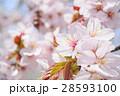 桜(アップ+ハイキー) 28593100