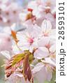 桜(アップ+ハイキー) 28593101