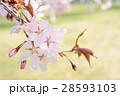 桜のアップ(グリーンバック) 28593103