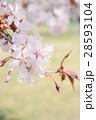 桜のアップ(グリーンバック) 28593104