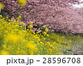満開の菜の花と桜(河津桜) 28596708