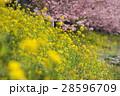 春 花 桜の写真 28596709