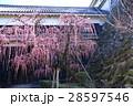 高知城詰門の枝垂れ梅 28597546