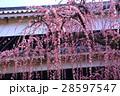 高知城詰門の枝垂れ梅 28597547