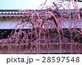 高知城詰門の枝垂れ梅 28597548