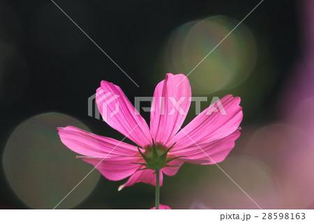 コスモス (センセーション) その27。 Cosmos flower 28598163