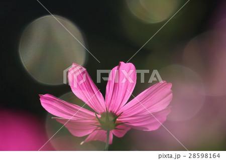 コスモス (センセーション) その28。 Cosmos flower 28598164