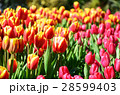 チューリップ チューリップ畑 花畑の写真 28599403