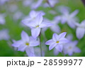 ハナニラ 花 クローズアップの写真 28599977