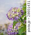 紫陽花 28601431