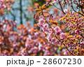 櫻花 28607230