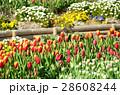 チューリップ チューリップ畑 花畑の写真 28608244