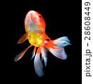 gold fish on black 28608449