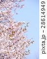 桜 蝦夷山桜 春の写真 28614949