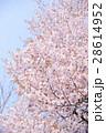 桜 蝦夷山桜 春の写真 28614952
