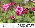 菊 菊の群生 きくの写真 28626787